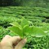 Как зеленият чай помага да сме по- красиви