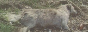 Обезглавени и малтретирани кучешки трупове