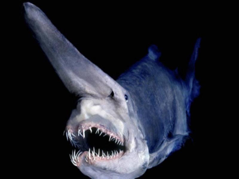 акула таласъм