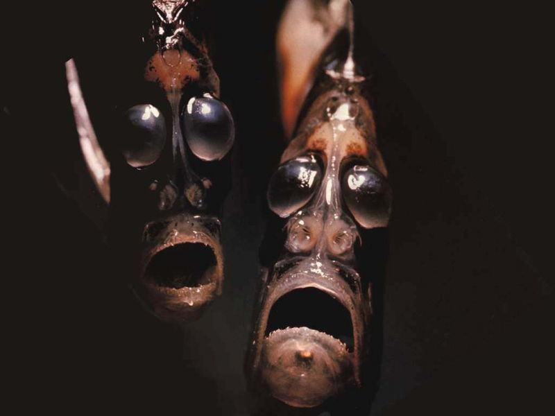 риба брадва