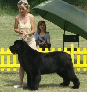 Бойнка Георгиева куче нюфаундленд