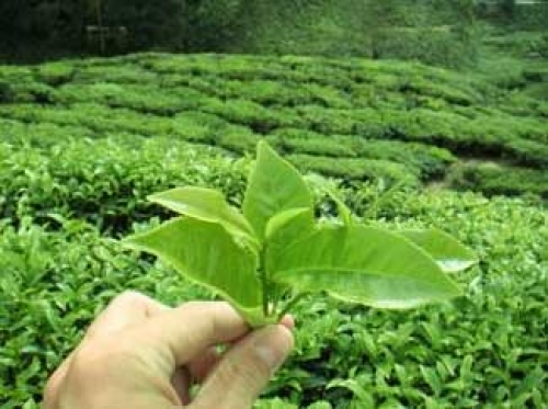 zelen-chai-otslabvane