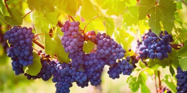 grozde-1